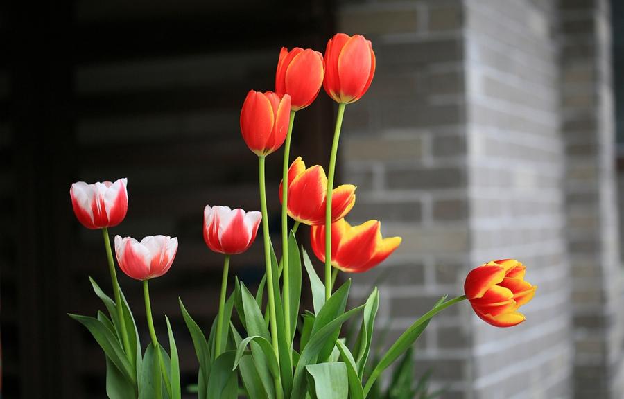 家庭盆栽郁金香的养护要点