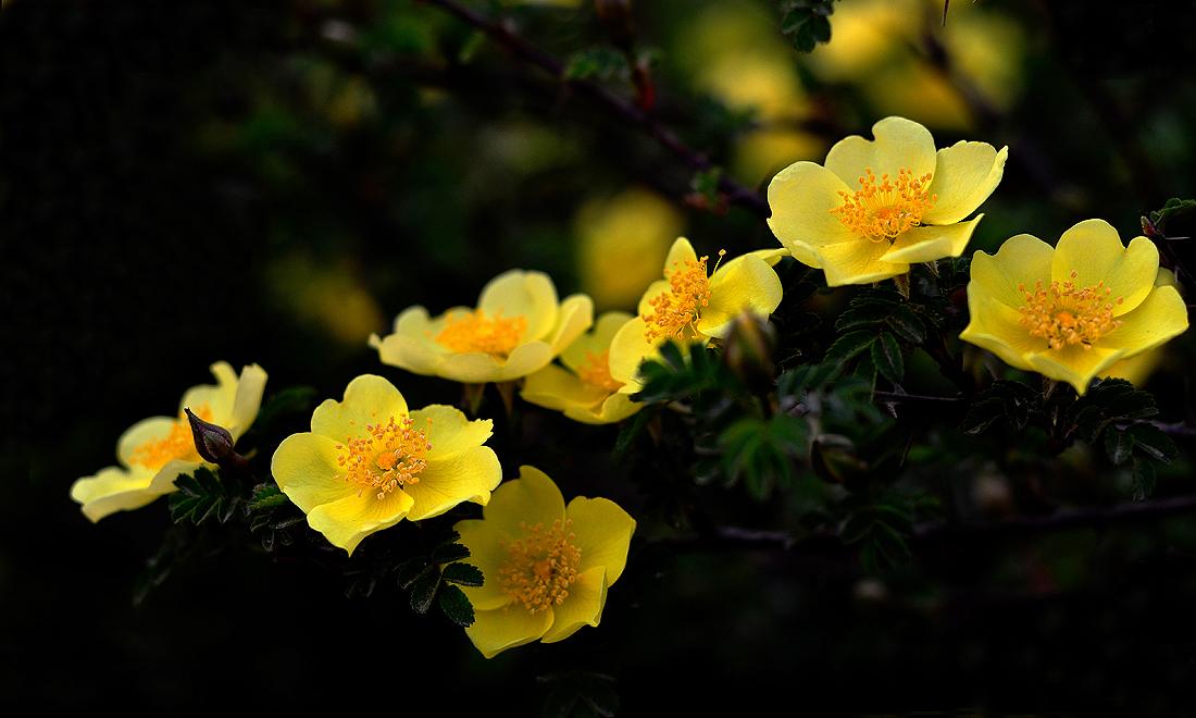 黄蔷薇花语是什么,象征着永恒的微笑