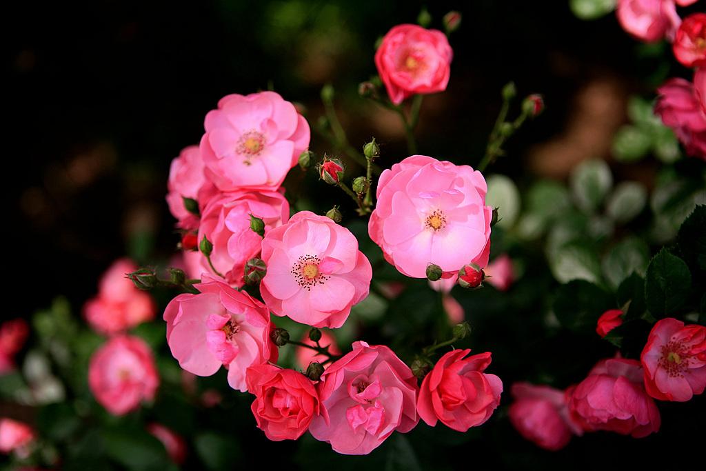 什么花的花语是思念