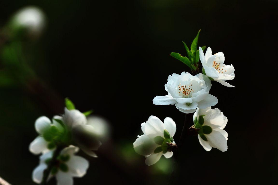 白色的桃花象征着什么