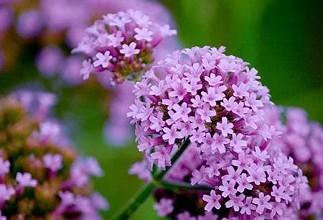 柳叶马鞭草花语是什么