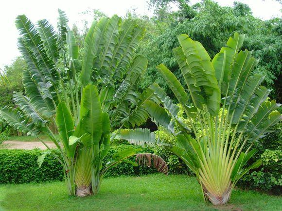 旅人蕉是一种什么植物?旅人蕉图片及简介