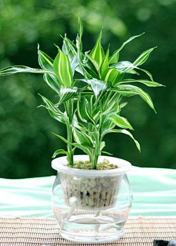 富贵竹吊兰...水培总黄叶!只要3步立马变绿!