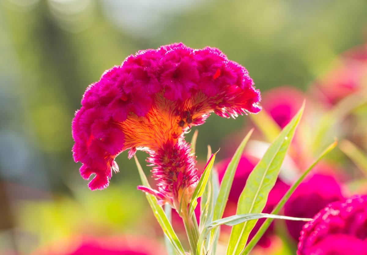 鸡冠花什么时候开花?