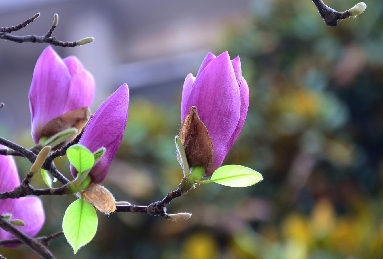 紫色玉兰花的寓意是什么