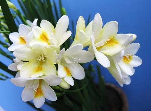 小苍兰开花应该满足哪些条件