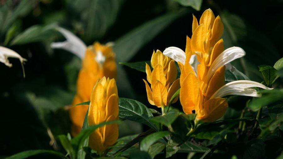 如何让金苞花一年四季都开花