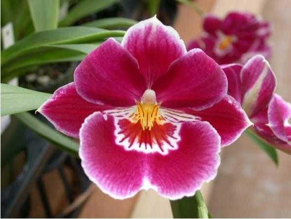堇花兰是一种什么植物?堇花兰图片及简介