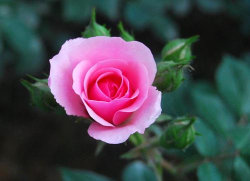 粉色月季花语是什么呢