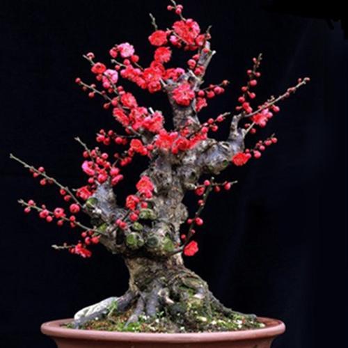 盆栽梅花的养护要点是哪些
