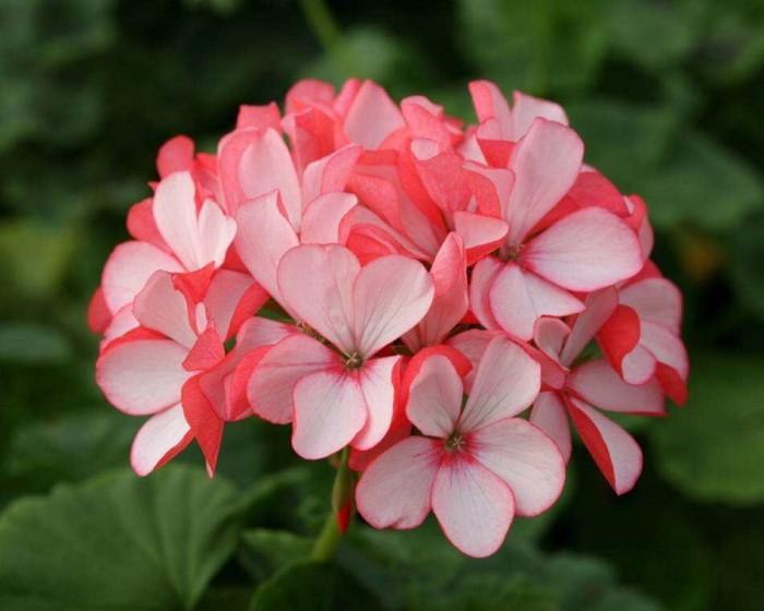 天竺葵不开花的原因有哪些