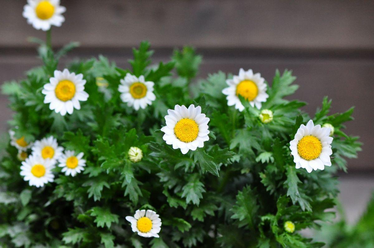 白晶菊花语是什么