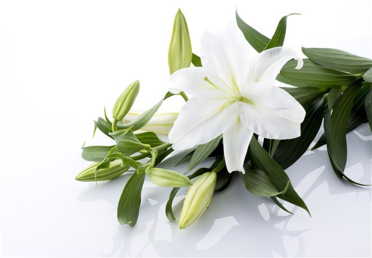百合花的花语和寓意都是什么呢