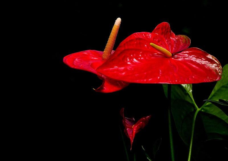 安祖花的夏秋季养护该怎么做