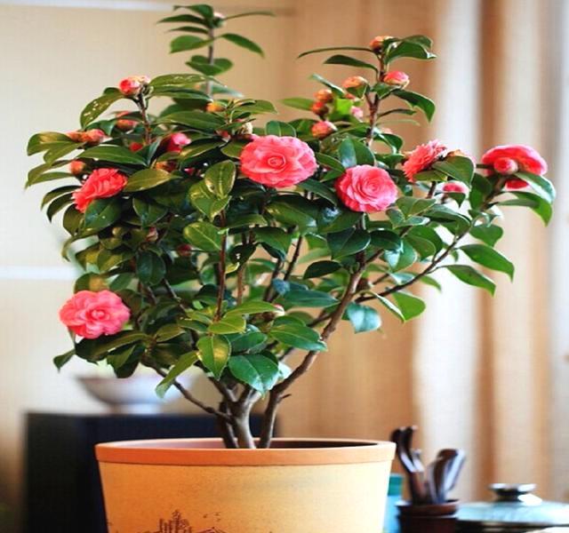 北方阳台春季养茶花的注意事项是哪些