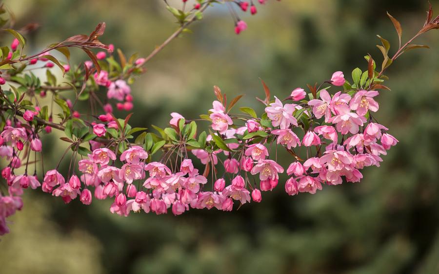 垂丝海棠的品种简介