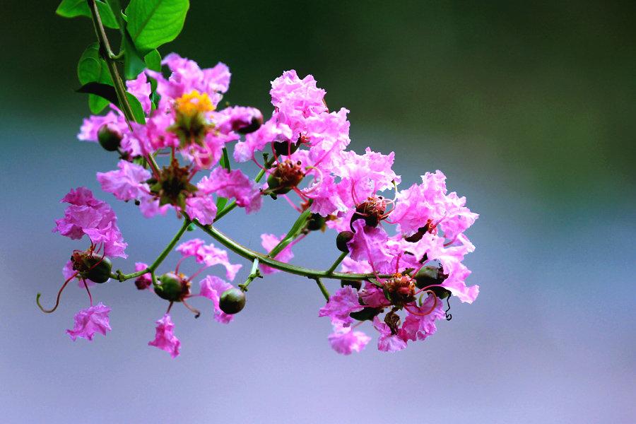 紫薇老桩嫁接多花色紫薇需注意什么?