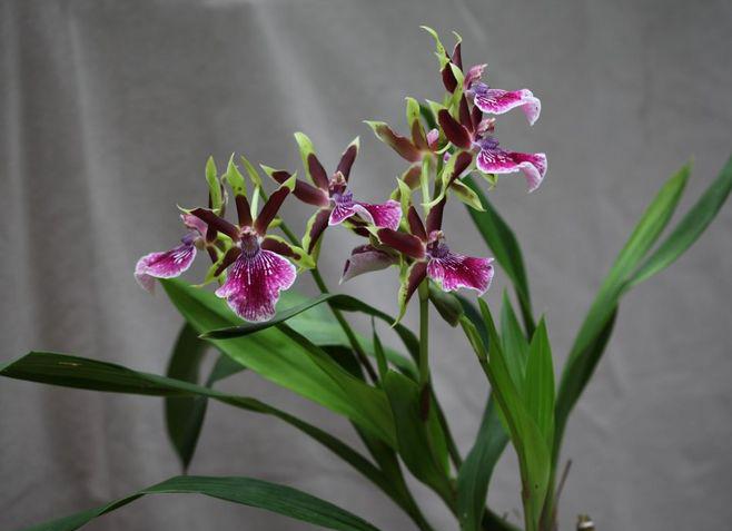 紫香兰是一种什么植物?紫香兰图片及简介