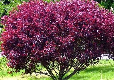 紫叶矮樱如何进行栽培及管理