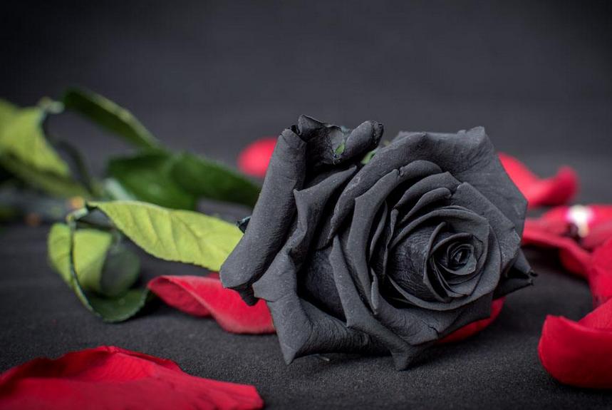 黑玫瑰花语是什么,神秘/地下情/恶魔/诅咒