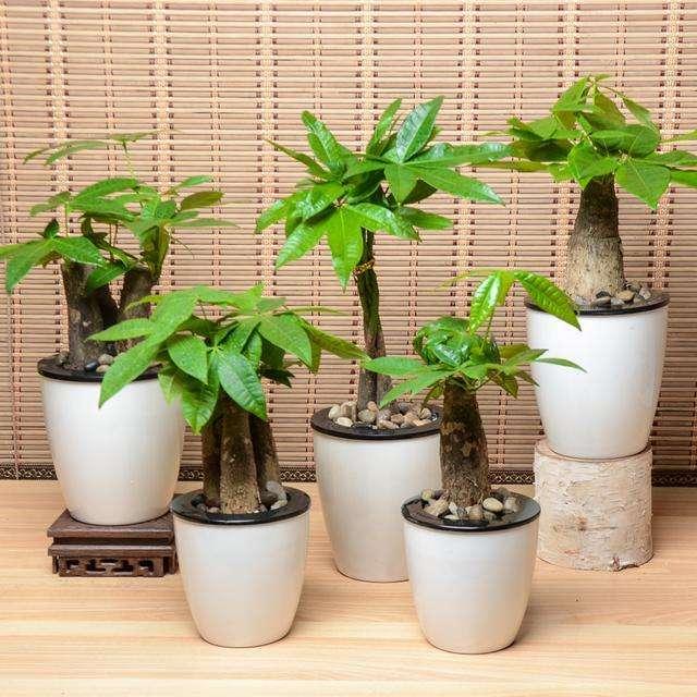 武汉花店小编教你如何繁殖发财树及养护方法