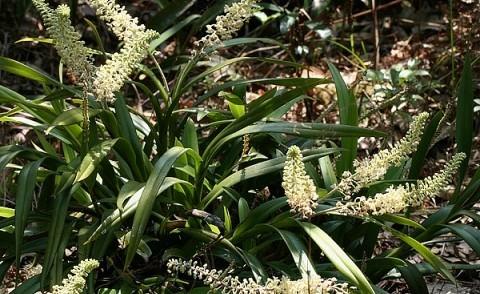 竹枝毛兰是一种什么花卉植物?竹枝毛兰图片及简介