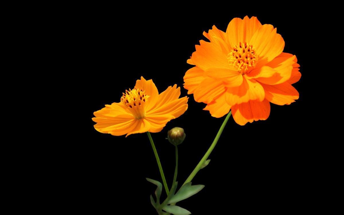硫华菊的栽培要点是什么