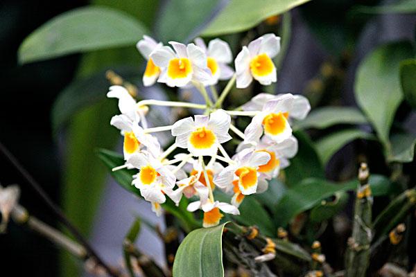 球花石斛的栽培要点是哪些