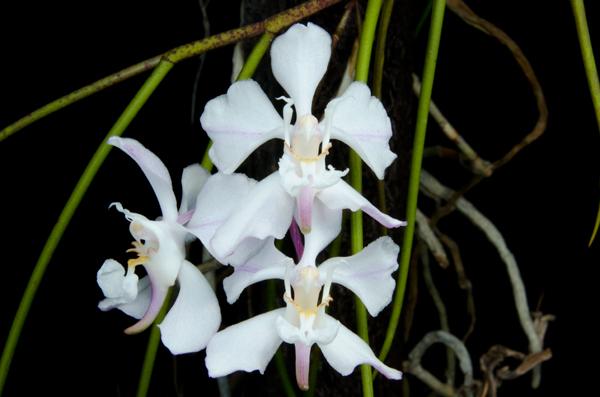 白花凤蝶兰是一种什么花卉植物?白花凤蝶兰图片及简介