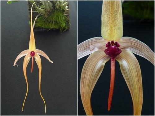 柄唇兰是一种什么植物?柄唇兰图片及简介