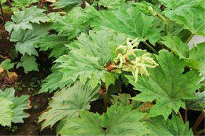 波叶大黄是一种什么植物?波叶大黄图片及简介