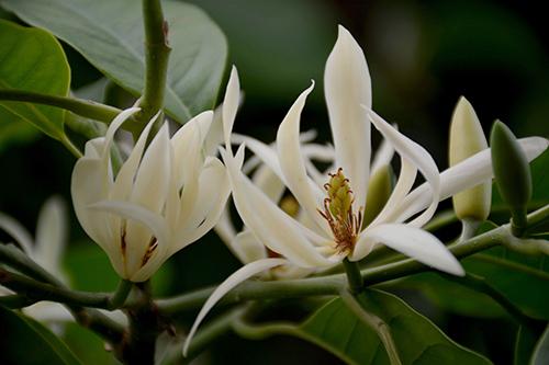 白兰花花语是什么,高贵典雅/纯洁的爱意