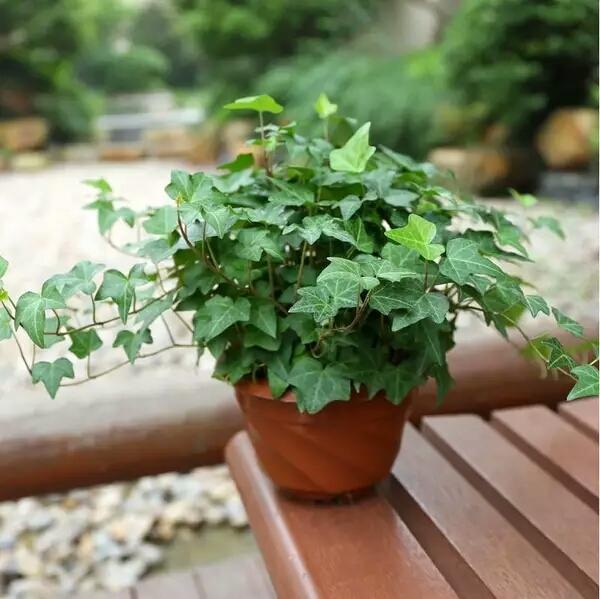 常春藤怎么养 常春藤的养殖方法和注意事项