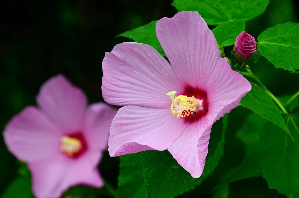 芙蓉葵的栽培要点是什么