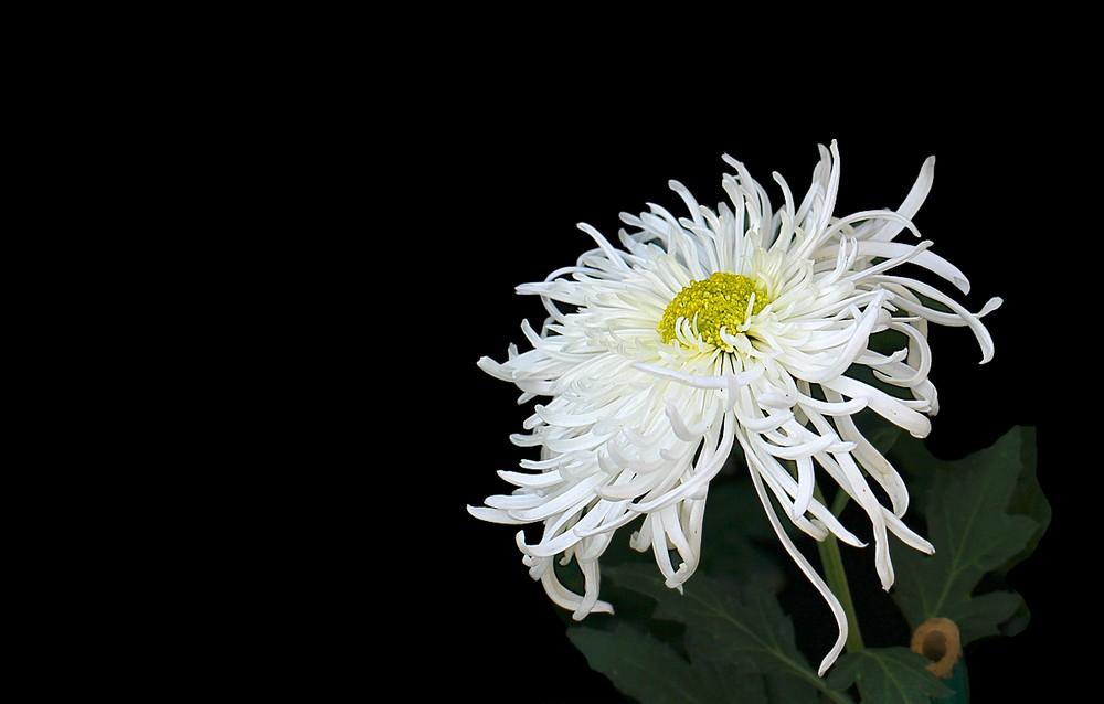 白菊花代表什么意思,高贵/哀思/清纯/看清真相等