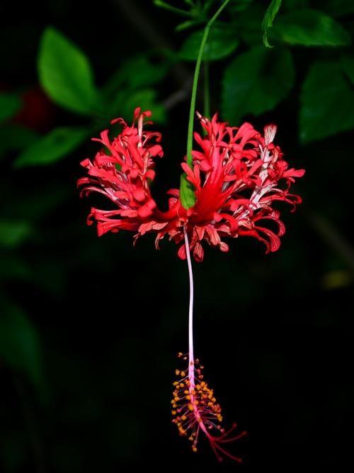 吊灯扶桑的栽培要点是什么