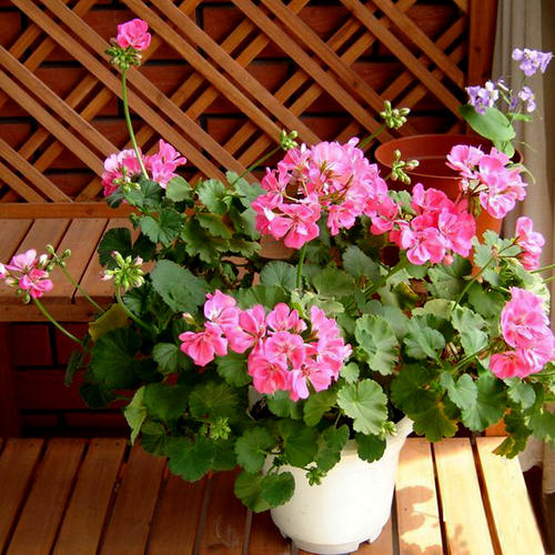 如何提高天竺葵的繁殖成活率