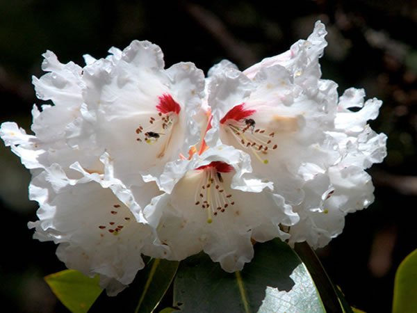 大白杜鹃的栽培要点是哪些