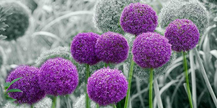 大花葱的栽培要点有哪些