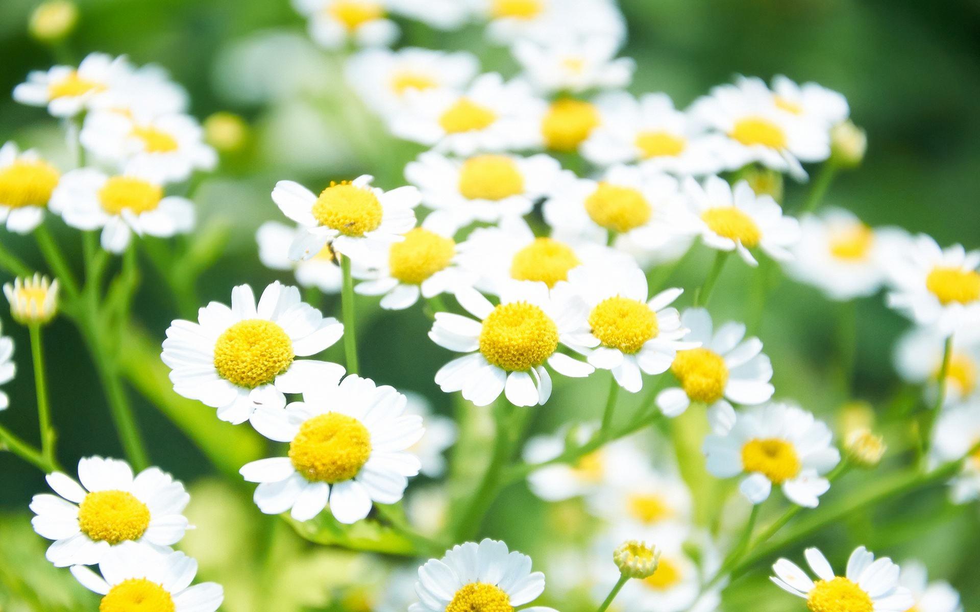 不同生长阶段雏菊的养护要点有哪些
