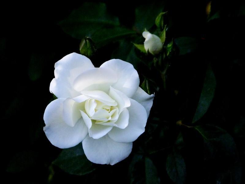 白色月季花花语