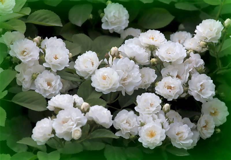 白蔷薇花语