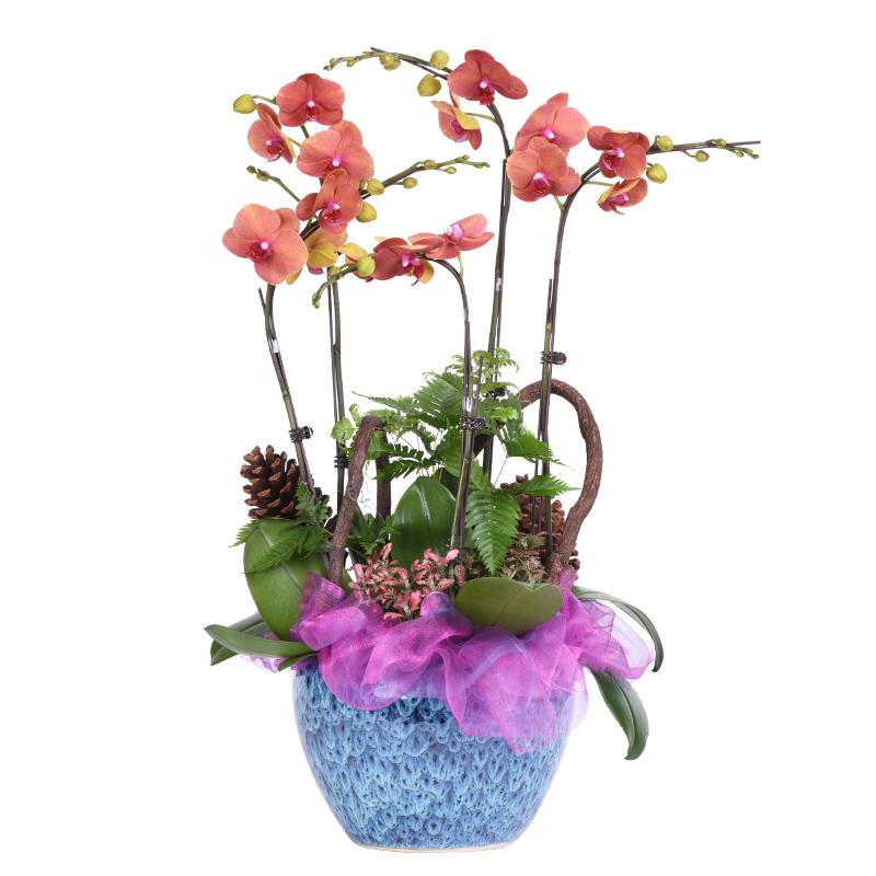蝴蝶兰的栽培要点是哪些