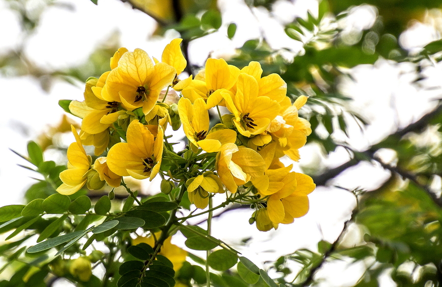 黄槐的栽培要点及注意事项是什么
