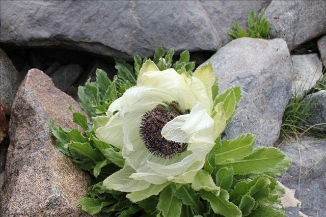 如何栽培天山雪莲花