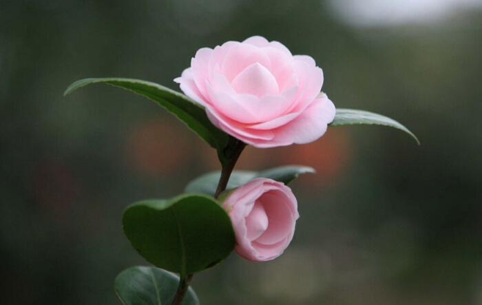 山茶花花语及代表意义
