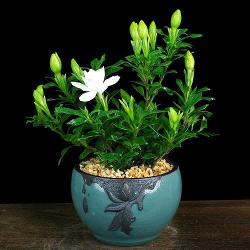 盆栽栀子花的养护要点是哪些