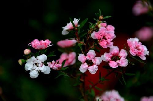 松红梅的花语