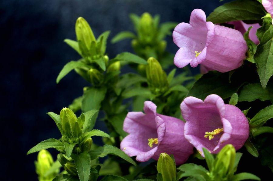 风铃草的栽培要点是什么