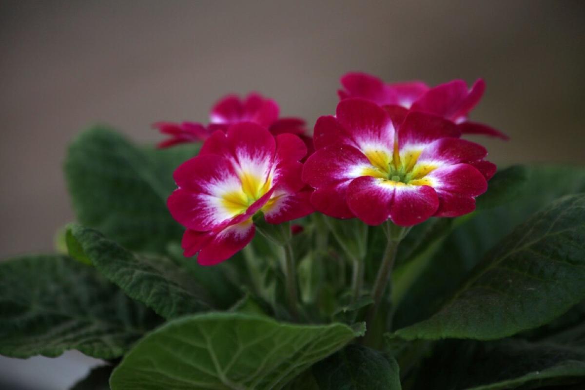 如何使报春花持续开花